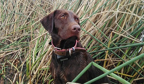 Chocolate Lab watch in ducks in marsh