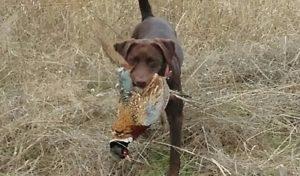 California Labrador retriever retrieving pheasants on a youth hunt from California Labrador Retriever Breeder