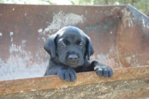 Labrador puppy in tractor bucket with grey collar from California Labrador Retriever Breeder