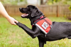 California Labrador Retriever Breeder service dogs