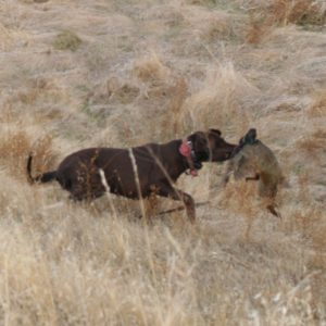 Northern california pheasant hunt labrador from Sierra Valley Labs