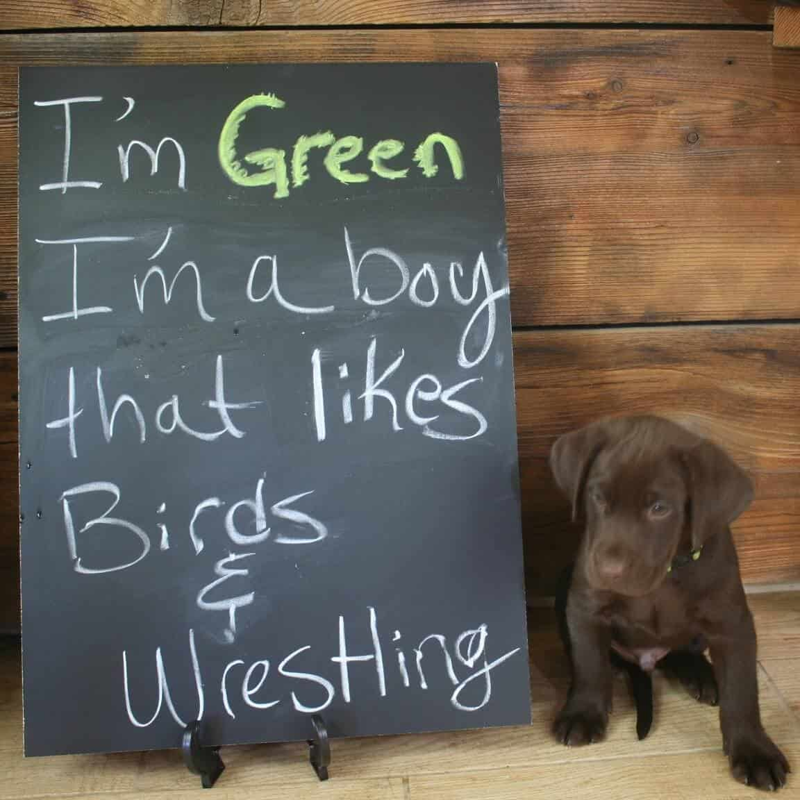 chocolate lab male puppy at california breeder hunting lab
