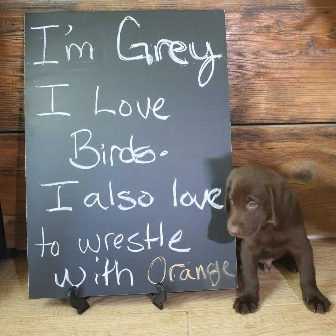 Chocolate Labrador Puppy with chalkboard sign Grey lab puppy