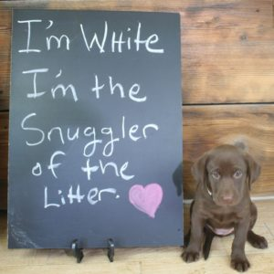 Chocolate lab puppy with chalkboard describing her